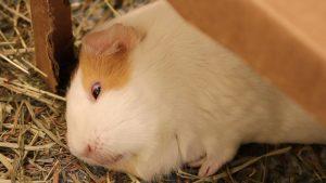 a sleeping Guinea pig