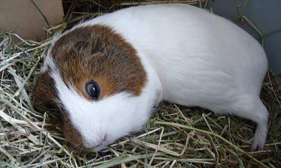 Guinea pig sleep