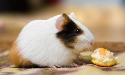 guinea pig with clementine