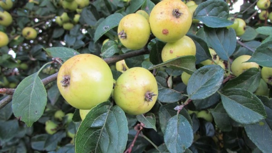 are crab apples poisonous to horses