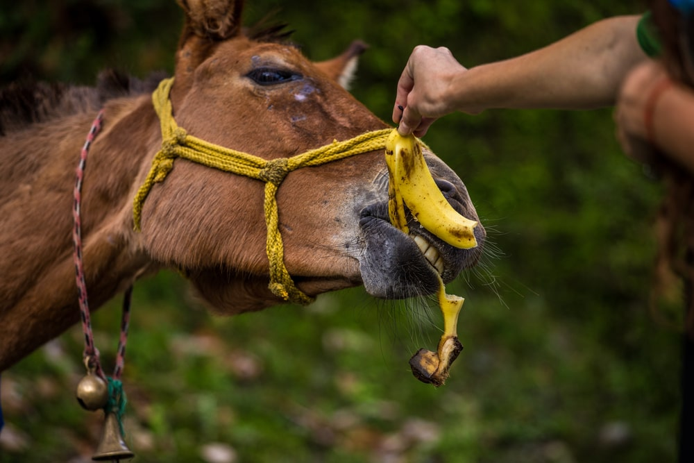 can horses eat banana peels