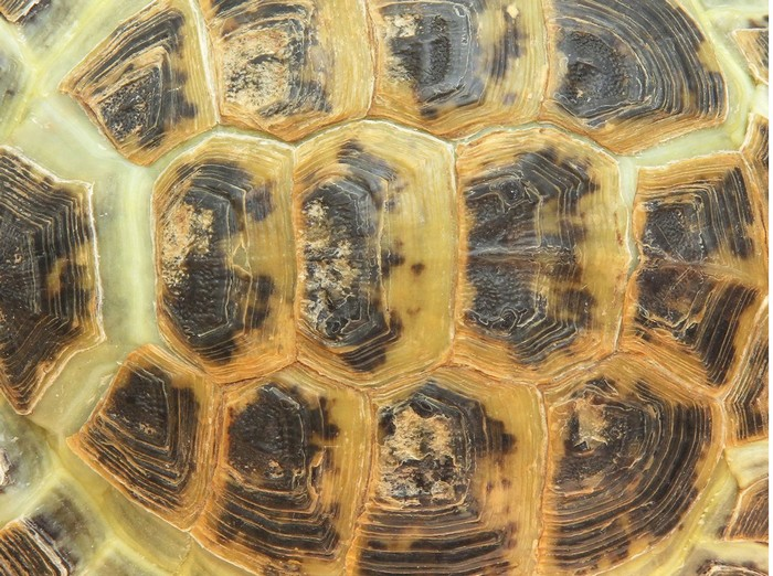 How to Preserve Turtle Shells