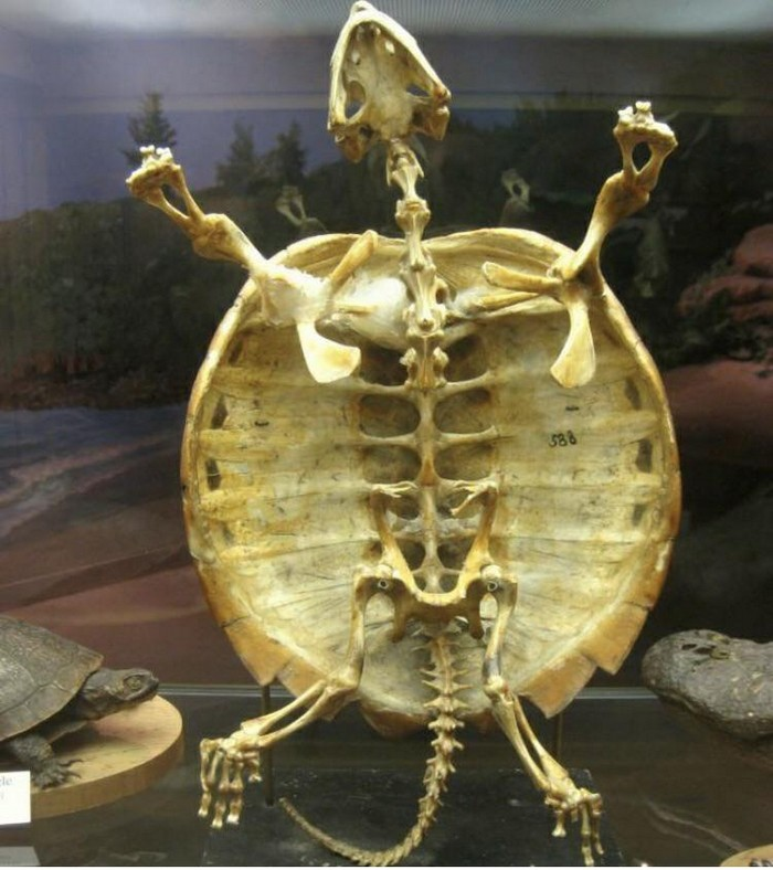 How to clean and preserve turtle shells