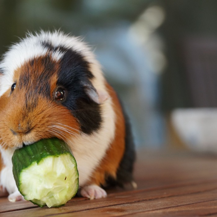 What to Do If Guinea Pigs Eat Hair