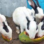 Can you feed papaya skin to rabbits?